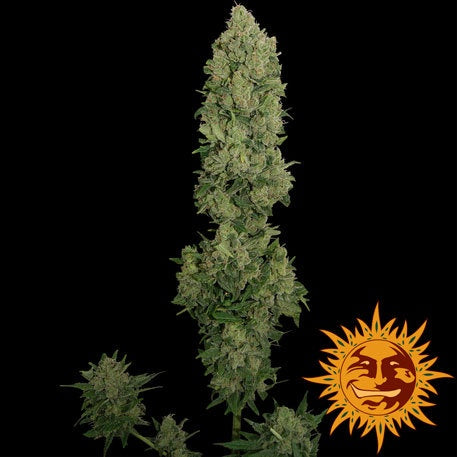 Barneys Farm Seeds - NYC Diesel Automatic - The JuicyJoint