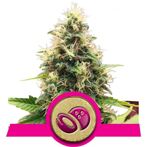 Royal Queen Seeds - Somango XL - The JuicyJoint