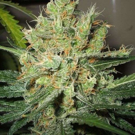Nirvana Seeds - Pure Power Plant Regular - The JuicyJoint