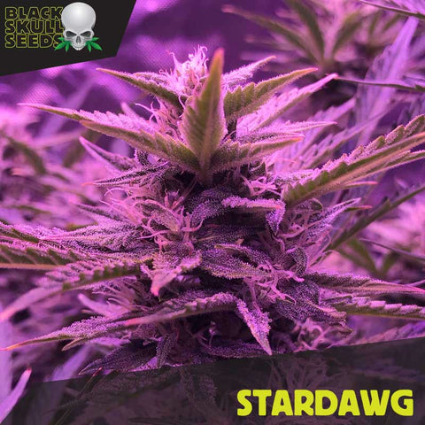 Black Skull Seeds - Stardawg