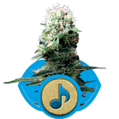 Royal Queen Seeds - Dance World (CBD) - The JuicyJoint