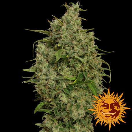 Barneys Farm Seeds - Sweet Tooth - The JuicyJoint