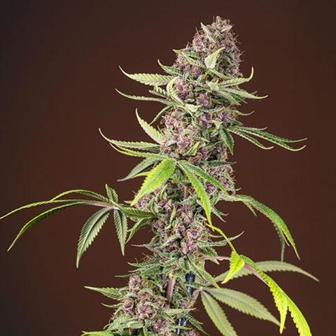Sweet Seeds - Red Mandarine Fast