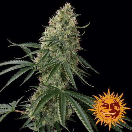 Barneys Farm Seeds - Sin Tra Bajo Automatic - The JuicyJoint