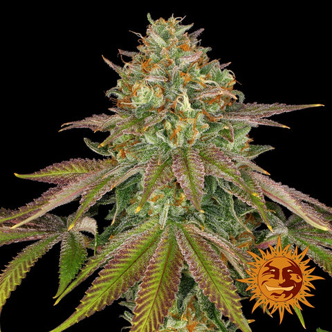 Barneys Farm Seeds - WEDDING CAKE™