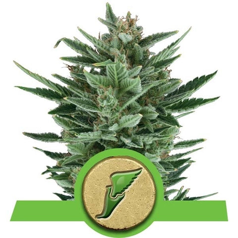 Royal Queen Seeds - Quick One - The JuicyJoint