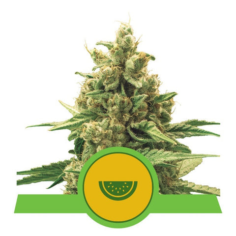 Royal Queen Seeds - Watermelon Automatic