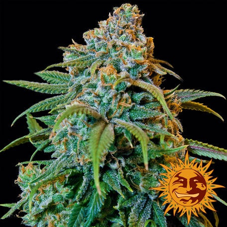 Barneys Farm Seeds - Liberty Haze - The JuicyJoint