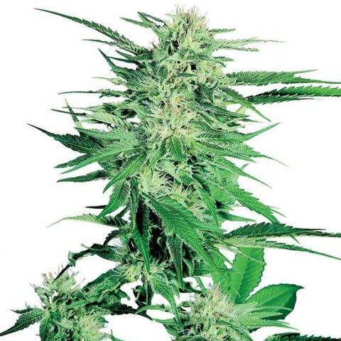 Sensi Seeds - Big Bud - The JuicyJoint