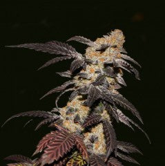 SALE!! T.H. Seeds - French Cookies