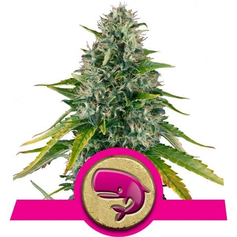 Royal Queen Seeds - Royal Moby - The JuicyJoint