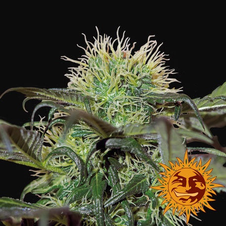 Barneys Farm Seeds - Bad Azz Kush - The JuicyJoint