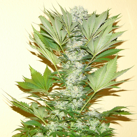Nirvana Seeds - Misty Kush Regular - The JuicyJoint