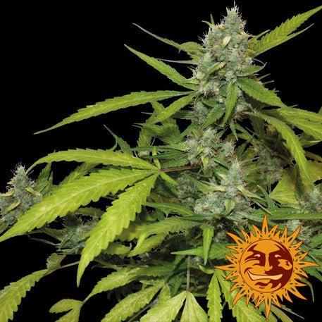 Barneys Farm Seeds - Sweet Tooth Auto - The JuicyJoint