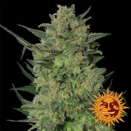 Barneys Farm Seeds - L.S.D. - The JuicyJoint