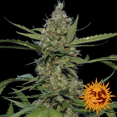 Barneys Farm Seeds - Laughing Buddha - The JuicyJoint