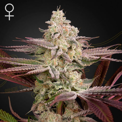 Green House Seeds - Chemical Bride