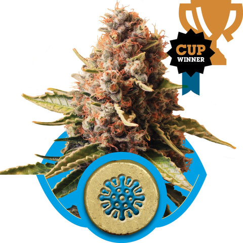 Royal Queen Seeds - Euphoria (CBD) - The JuicyJoint
