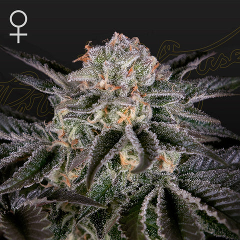 Green House Seeds - Wonder Pie