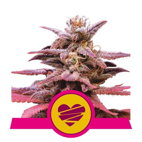 Royal Queen Seeds - Wedding Crasher