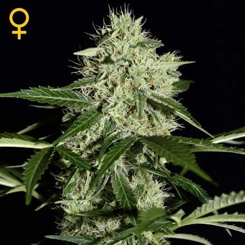 Green House Seeds - Northern Lights Auto - The JuicyJoint