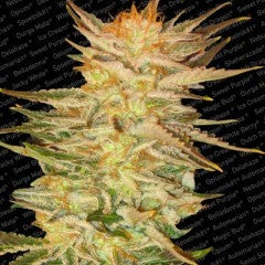 Paradise Seeds - Ice Cream - The JuicyJoint