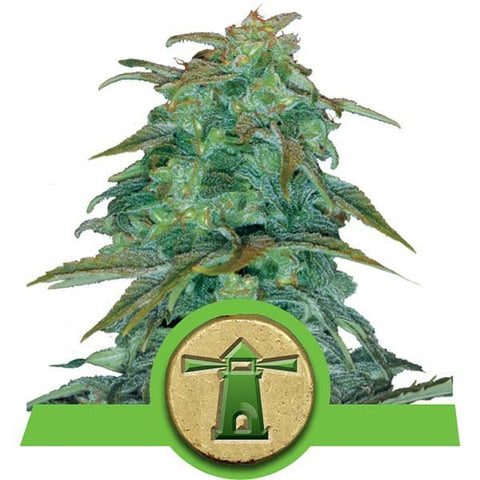 Royal Queen Seeds - Royal Haze Automatic - The JuicyJoint