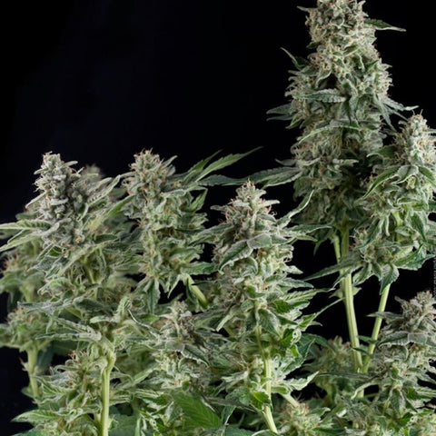 Pyramid Seeds - Northern Lights - The JuicyJoint
