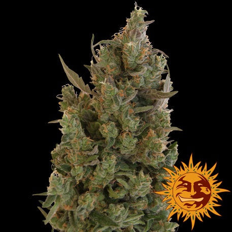 Barneys Farm Seeds - Blue Cheese - The JuicyJoint