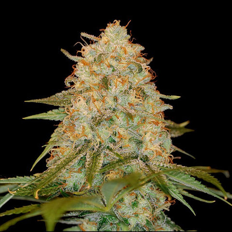 DNA Genetics - LA Chocolat - The JuicyJoint