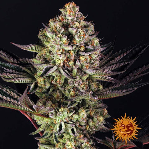 Barneys Farm Seeds - Dos Si Dos 33™