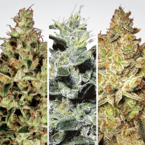 Paradise Seeds - Auto Collection Pack #2