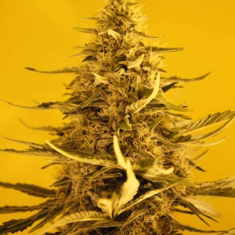 Nirvana Seeds - White Widow Auto - The JuicyJoint