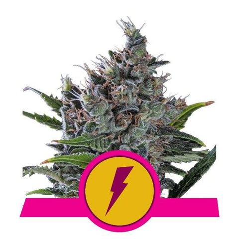 SALE!! Royal Queen Seeds - North Thunderfuck