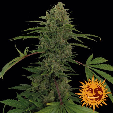 Barneys Farm Seeds - Critical Kush Auto - The JuicyJoint