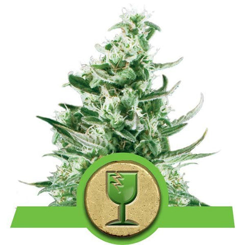 Royal Queen Seeds - Royal Critical Automatic - The JuicyJoint