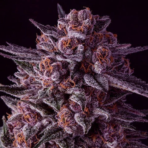 Anesia Seeds - Gelato Dream