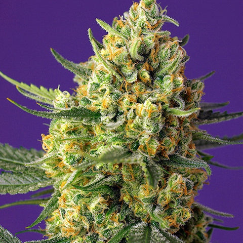Sweet Seeds - Crystal Candy XL Auto®