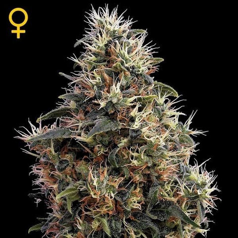 Green House Seeds - Sweet Mango Auto - The JuicyJoint