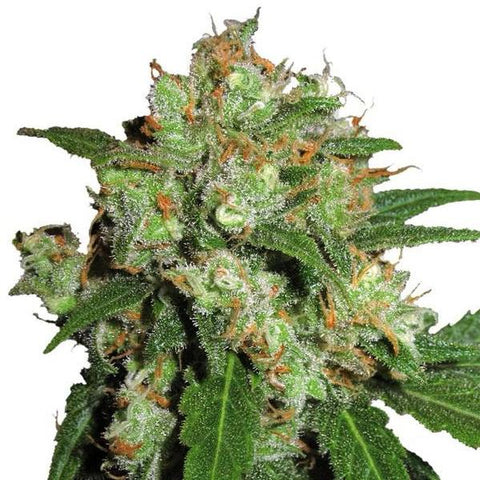 Sensi Seeds - Sensi Skunk - The JuicyJoint