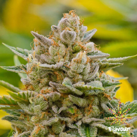 Flavour Chasers Seeds - Guava