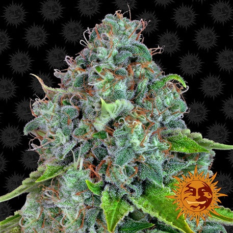 Barneys Farm Seeds - Strawberry Lemonade™