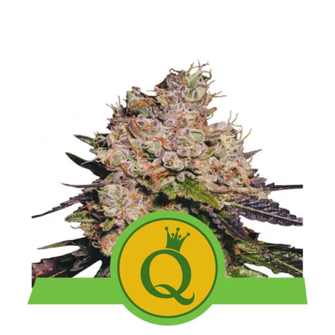 Royal Queen Seeds - Purple Queen Auto