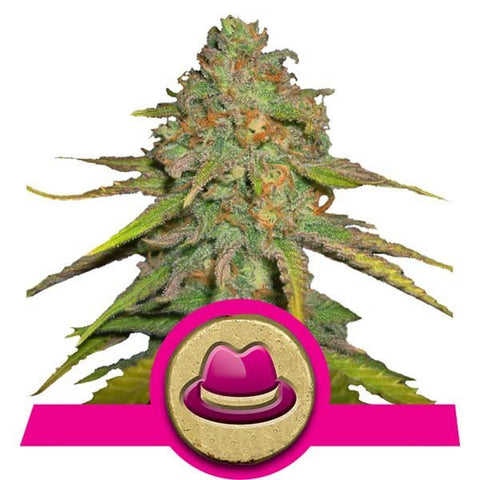 Royal Queen Seeds - OG Kush - The JuicyJoint