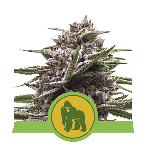 Royal Queen Seeds - Royal Gorilla Auto - The JuicyJoint