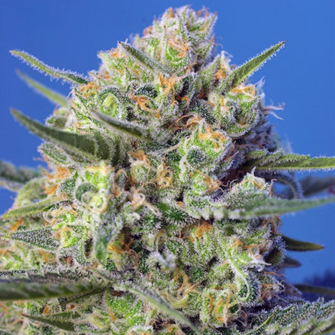 Sweet Seeds - Crystal Candy F1 Fast Version