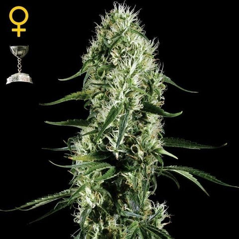 Green House Seeds - Super Silver Haze - The JuicyJoint