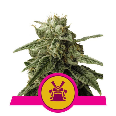 Royal Queen Seeds - Shogun