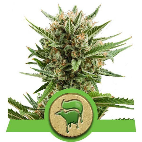 Royal Queen Seeds - Sweet Skunk Automatic - The JuicyJoint