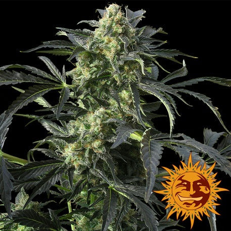 Barneys Farm Seeds - Crimea Blue - The JuicyJoint
